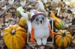 Perrito de Pomeranian Foto de archivo libre de regalías