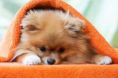 Perrito de Pomeranian con las mariquitas fotos de archivo libres de regalías