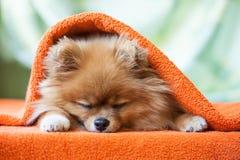 Perrito de Pomeranian con las mariquitas fotos de archivo