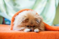 Perrito de Pomeranian con las mariquitas imagen de archivo