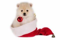 Perrito de Pomeranian de la Navidad. Fotos de archivo libres de regalías