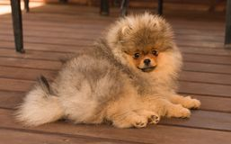 Perrito de Pomeranian en la sombra en un día de verano Fotos de archivo