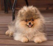 Perrito de Pomeranian en la sombra en un día de verano Foto de archivo