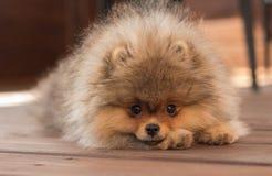 Perrito de Pomeranian en la sombra en un día de verano Imagenes de archivo