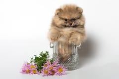 Perrito de Pomeranian en un florero fotos de archivo