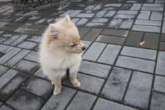 Perrito de Pomeranian para un paseo Imagen de archivo libre de regalías
