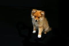 Perrito de Pomeranian que parece muy triste Imágenes de archivo libres de regalías