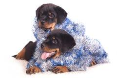 Perrito de Rottweiler Imágenes de archivo libres de regalías