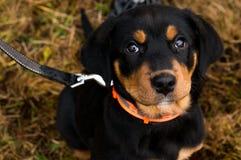 Perrito de Rottweiler foto de archivo