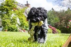 Perrito de Schapendoes que camina hacia la pantalla con la cuerda foto de archivo libre de regalías
