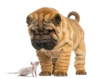 Perrito de Shar Pei que mira abajo un ratón sin pelo Imagen de archivo libre de regalías