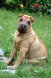 Perrito de Sharpei en la hierba Foto de archivo libre de regalías