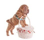 Perrito de Sharpei que se coloca en cesta de la comida campestre imagenes de archivo
