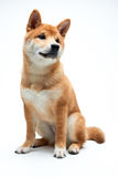 Perrito de Shiba Inu Imágenes de archivo libres de regalías