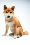 Perrito de Shiba Inu Imagenes de archivo