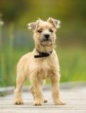 Perrito de Terrier de mojón imagenes de archivo