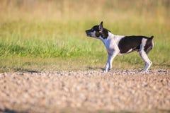 Perrito de Terrier de rata el gruñir imagen de archivo