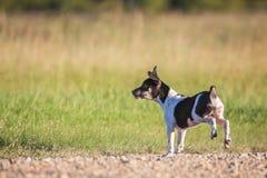 Perrito de Terrier de rata el gruñir fotos de archivo