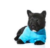 Perrito de Terrier del escocés Foto de archivo