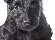 Perrito de Terrier del escocés Imágenes de archivo libres de regalías