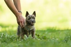 Perrito de Terrier de mojón 13 semanas de viejo El jugar lindo del pequeño perro fotografía de archivo libre de regalías