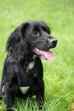 Perrito de trabajo del perro de aguas de cocker Imagen de archivo libre de regalías