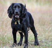 Perrito de trabajo del perro de aguas de cocker Foto de archivo libre de regalías