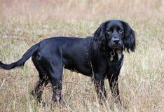 Perrito de trabajo del perro de aguas de cocker Fotos de archivo libres de regalías