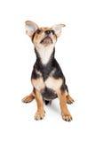 Perrito de tres meses mezclado chihuahua de la raza que mira el cielo Imagen de archivo libre de regalías