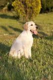 Perrito de un Labrador blanco Fotos de archivo