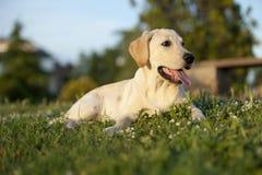 Perrito de un Labrador blanco Fotos de archivo libres de regalías