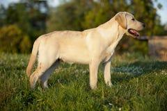 Perrito de un Labrador blanco Imágenes de archivo libres de regalías
