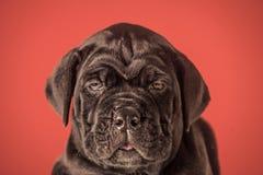 Perrito de un mastín Año Nuevo, perrito lindo en fondo rojo Imagenes de archivo