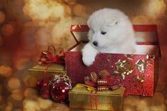 Perrito de un mes del samoyedo en una caja de la Navidad Foto de archivo