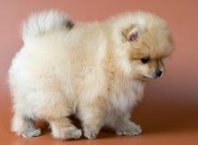 Perrito de un perro de Pomerania-perro Foto de archivo libre de regalías