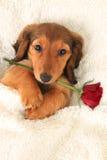 Perrito de Valentine Dachshund imágenes de archivo libres de regalías
