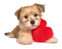 Perrito de Valentine Havanese del amante que miente con un corazón rojo foto de archivo libre de regalías