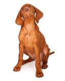 Perrito de Vizsla que mira para arriba Fotos de archivo