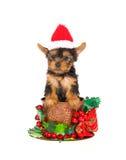Perrito de Yorkie con el sombrero de santa dentro de la taza de la Navidad Imágenes de archivo libres de regalías