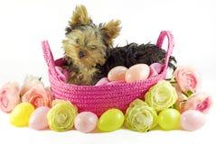 Perrito de Yorkie en cesta rosada con los huevos de Pascua Fotografía de archivo libre de regalías