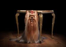 Perrito de Yorkie en la tabla de mármol fotos de archivo