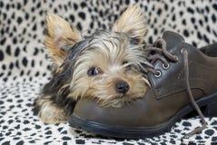 Perrito de Yorkie que miente en el zapato imagenes de archivo