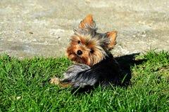 Perrito de Yorkshire que miente en el jardín Foto de archivo libre de regalías
