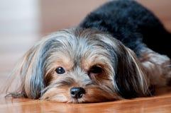 Perrito de Yorkshire Terrier en el retrato de madera del piso imagen de archivo libre de regalías