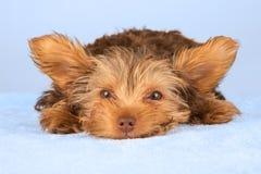 Perrito de Yorkshire Terrier que se coloca en el estudio que mira b inquisitivo Fotos de archivo libres de regalías