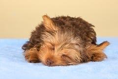 Perrito de Yorkshire Terrier que se coloca en el estudio que mira b inquisitivo Imágenes de archivo libres de regalías