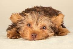 Perrito de Yorkshire Terrier que se coloca en el estudio que mira b inquisitivo Imagen de archivo libre de regalías