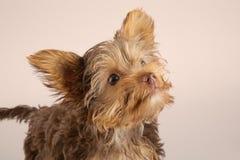 Perrito de Yorkshire Terrier que se coloca en el estudio que mira b inquisitivo Foto de archivo