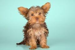 Perrito de Yorkshire Terrier que se coloca en el estudio que mira g inquisitivo Imagen de archivo libre de regalías