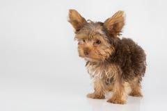 Perrito de Yorkshire Terrier que se coloca en el estudio que mira w inquisitivo Imagenes de archivo